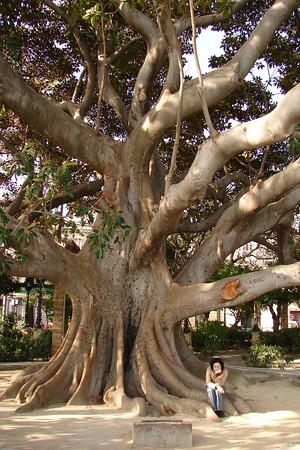 Cádiz - Alameda Marqués de Comillas - árbol gigante